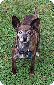 Chihuahua Dog for adoption in Mt Gretna, Pennsylvania - Desi