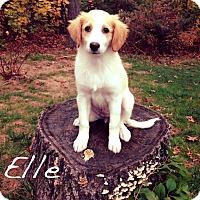 Adopt A Pet :: Elle - Southington, CT