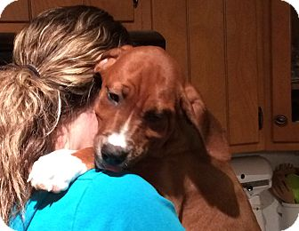 Boxer/Hound (Unknown Type) Mix Puppy for adoption in West Milford, New Jersey - Peter Pan