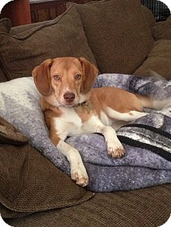 Beagle Dog for adoption in LaGrange, Kentucky - Buttercup