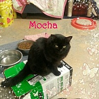 Domestic Longhair Cat for adoption in New Richmond,, Wisconsin - Mocha