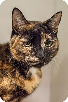 Domestic Shorthair Cat for adoption in Parma, Ohio - Molly