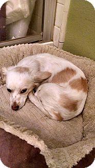 Corgi/Spaniel (Unknown Type) Mix Dog for adoption in Simi Valley, California - Freckles