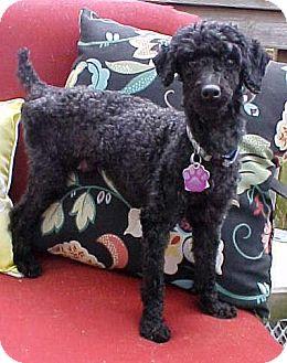 Poodle (Miniature) Dog for adoption in Dahlgren, Virginia - Quincy - 8 lbs