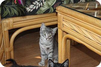 Polydactyl/Hemingway Kitten for adoption in St. Louis, Missouri - Rumor