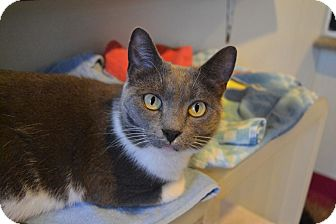 Domestic Shorthair Cat for adoption in Broadway, New Jersey - Diva