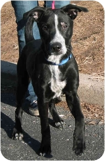 Border Collie Mix Puppy for adoption in Chicago, Illinois - Roxy