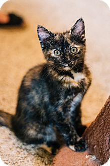 Domestic Shorthair Kitten for adoption in Cedar Springs, Michigan - Ruby