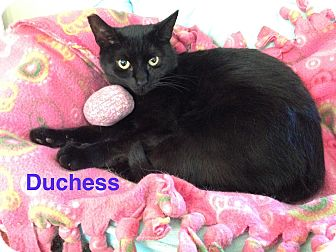 Domestic Shorthair Cat for adoption in Hamilton, New Jersey - DUCHESS