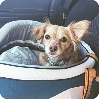 Papillon Mix Dog for adoption in Orange, California - Airabell