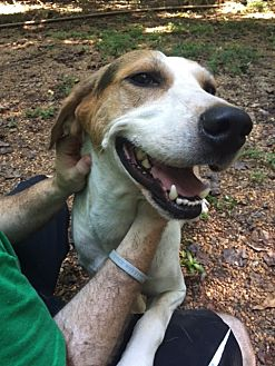 Hound (Unknown Type) Mix Dog for adoption in Simpsonville, South Carolina - Chester