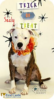 American Pit Bull Terrier Mix Dog for adoption in Covington, Louisiana - Sealy