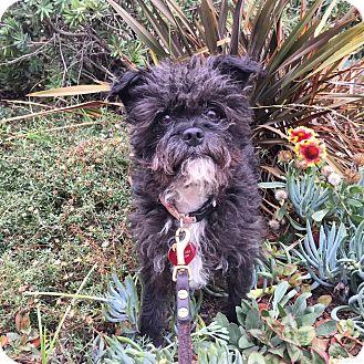 Affenpinscher/Terrier (Unknown Type, Small) Mix Dog for adoption in santa monica, California - Madeleine