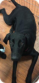 Labrador Retriever/Weimaraner Mix Puppy for adoption in Lyndhurst, New Jersey - Madison