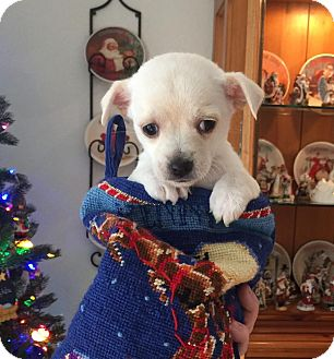 Chihuahua/Terrier (Unknown Type, Small) Mix Puppy for adoption in Scottsdale, Arizona - Sweetie