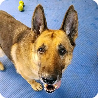 German Shepherd Dog Mix Dog for adoption in New Ringgold, Pennsylvania - Harry *ADOPTED!!!