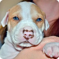 Adopt A Pet :: Baylee - Houston, TX