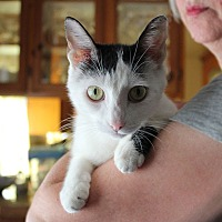 Domestic Shorthair Cat for adoption in Studio City, California - Augusta - loves laps!