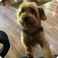Adopt A Pet :: Sophie - Hohenwald, TN