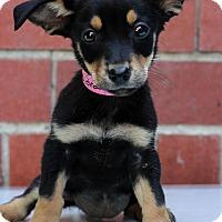 Adopt A Pet :: Deirdra - Waldorf, MD