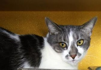 Domestic Shorthair/Domestic Shorthair Mix Cat for adoption in Newport News, Virginia - Waylen