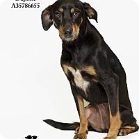 Adopt A Pet :: Daphne - Baton Rouge, LA