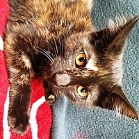 Adopt A Pet :: Full House Litter - Watauga, TX