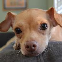 Adopt A Pet :: Henry ( Harvey Rescue ) - Chicago, IL