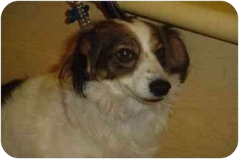 Spaniel (Unknown Type)/Sheltie, Shetland Sheepdog Mix Dog for adoption in Upland, California - Bethany