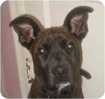 American Staffordshire Terrier Mix Dog for adoption in kennebunkport, Maine - Gucci Girl