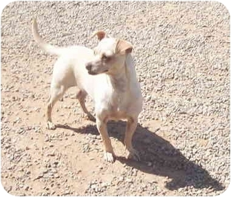 Chihuahua Mix Dog for adoption in Sacramento, California - Pocket