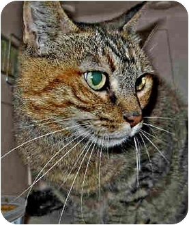 Domestic Shorthair Cat for adoption in San Clemente, California - MARINA