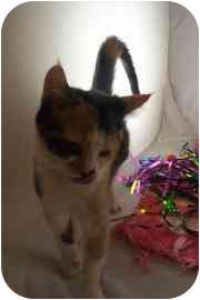 Domestic Shorthair Kitten for adoption in North Charleston, South Carolina - Sandy