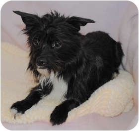 Terrier (Unknown Type, Small) Mix Dog for adoption in Portola, California - Tao