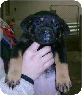 Rottweiler/Labrador Retriever Mix Puppy for adoption in Molalla, Oregon - Savannah