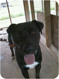 American Staffordshire Terrier Mix Dog for adoption in Parsippany, New Jersey - Buddy