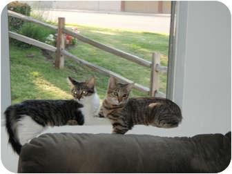 Domestic Shorthair Cat for adoption in Laguna Woods, California - Mowgli