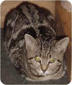 Domestic Shorthair Kitten for adoption in Franklin, North Carolina - Ava