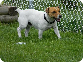 Jack Russell Terrier Mix Dog for adoption in Pincher Creek, Alberta - Marley