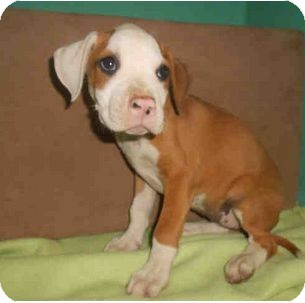 American Pit Bull Terrier Mix Puppy for adoption in Yuba City, California - 8/17 Unnamed