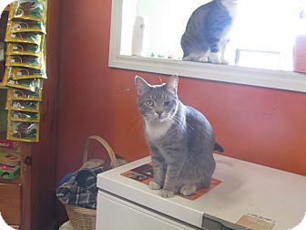 American Shorthair Cat for adoption in Barrie, Ontario - Griffin