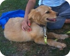 Golden Retriever Puppy for adoption in Irvine, California - LITTLE BEAR