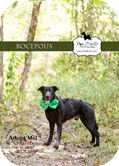 Labrador Retriever Mix Dog for adoption in Lewisville, Indiana - Bocepous