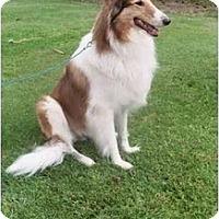 Adopt A Pet :: Colin - Gardena, CA