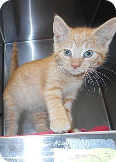 Domestic Shorthair Kitten for adoption in Jackson, New Jersey - Stetson