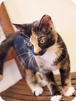 Domestic Shorthair Kitten for adoption in Huntsville, Alabama - Autumn