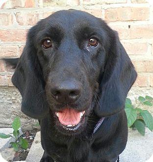 Labrador Retriever/Basset Hound Mix Dog for adoption in Chicago, Illinois - Dugger*ADOPTED!*