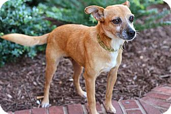 Chihuahua Mix Dog for adoption in Salem, New Hampshire - TOPAZ