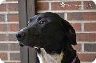 Labrador Retriever Mix Dog for adoption in Stillwater, Oklahoma - Nike