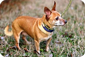 Chihuahua Mix Dog for adoption in Salem, New Hampshire - CHA-CHA